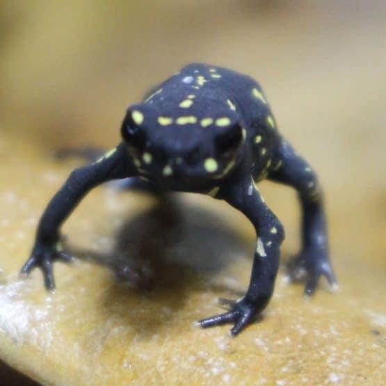 Bumble Bee Walking Toad